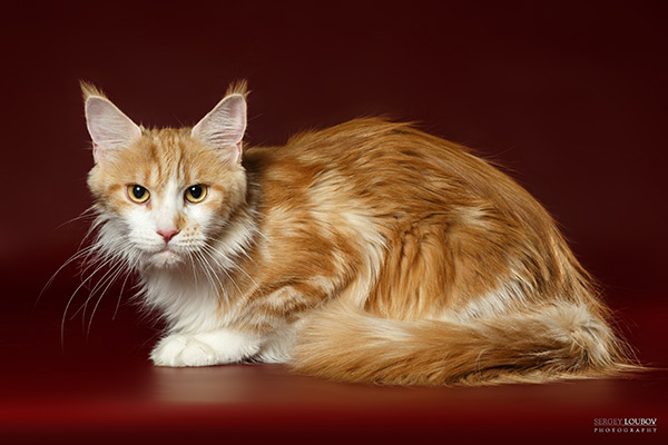 maine coon Hickory