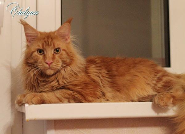 Кот породы Мейн-Кун из Челябинска