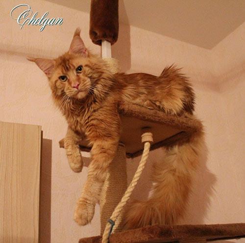 Фото кота мейн-куна Justcoons Ed Wardian