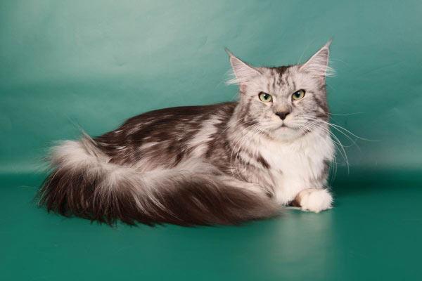 Фото кошки мейн-куна