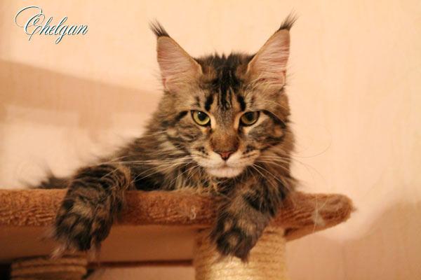 Bonbon Chelgan.Фотоальбом кошки Мейн Куна.